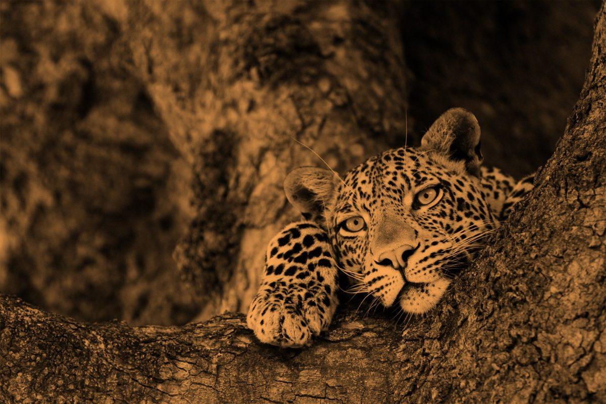 Jenman African Safaris Leopard Image